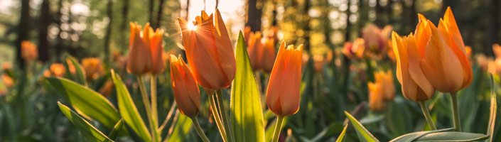 You know Spring is here when the tulips are in bloom. Image by Ales Krivec.